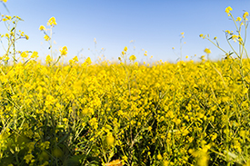 Image of Mustard Field