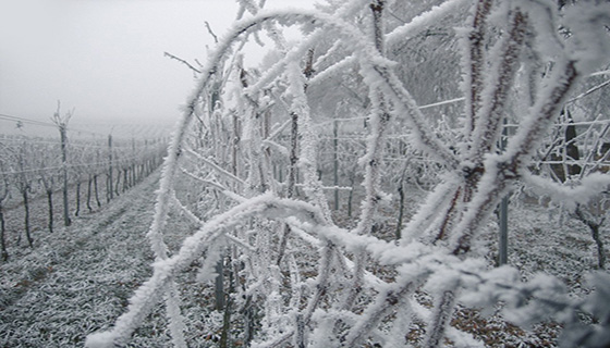 Image of Frost on vines